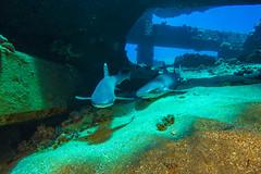 shark5Mar28-18 (divindk) Tags: hawaii hawaiianislands malaramp maui shark triaenodonobesus underwater whitetipreefshark whitetipshark whitetippedreefshark bestfreinds diverdoug fearsome hunter marine ocean predator reef sea underwaterphotography