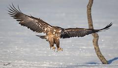 Wingspan (MatsOnni) Tags: merikotka haliaeetusalbicilla whitetailedeagle raptors petolinnut kotkat eagles mattisaranpää