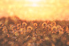 Dandelions (Mimadeo) Tags: dandelion dandelions flower flowers nature sunset summer spring sun field plant plants season background meadow grass flora sunlight natural beauty vintage outdoor floral bloom light sunny seasonal blossom beautiful retro copyspace many group several sky backlight backlit