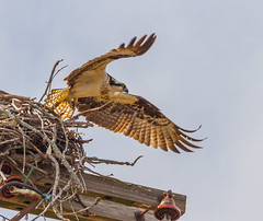 Wings Out (John Kocijanski) Tags: osprey bird birdofprey raptor nest nature wildlife animal wings flight flying canon70300mmllens canon7d