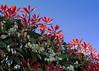 New growth (Reva G) Tags: flower plant shrub bush red leaf sky growth spring photiniastranvaesia