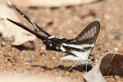 Lamproptera curius curius (White Dragontail) (GeeC) Tags: animalia arthropoda butterfliesmoths cambodia insecta kohkongprovince lamproptera lampropteracuriuscurius lepidoptera nature papilionidae papilionoidea tatai truebutterflies whitedragontail