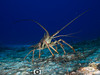 Lobster on the Run (R. Donald Winship Photography) Tags: aquaticlife cozumel dalilasreef divingunderwater spinylobster