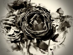 (GLKPhotos) Tags: rose flower petals buds stems plant delicate dying fragile brittle dry bokeh nature layers decay shapes textures form leaves details structure rotting blurredbackground blackandwhite bw mono monochrome uncropped panasonic lumix gx8