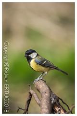 "Great Tit  / Parus Major (R ERTUG) Tags: nikkor200500mmf56eafsed nikond610fx wildlifephotography birdphotography fallowdeer nature watcher ferrymeadowscountrypark rertug ""nikonflickraward"""