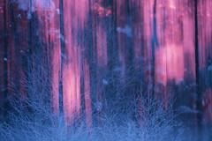 Sunrise (Daniel Trim) Tags: sunrise double exposure camera blur colourful frosty cold nature wildlife conny lundstrom lundström kalvträsk skellefteå skellftea northern scandinavia europe animals bird birds birding winter snowy snowing