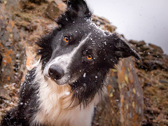 11/52 Another Day in Paradise (JJFET) Tags: 11 52 weeks for dogs paddy border collie mountain snow dog sheepdog