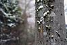 winter comeback (Frau Koriander) Tags: winter snow schnee tree baum rinde moos moss nikond300s 50mm nikkore50mmƒ18 dof bokeh nature natur park parc parkrosenhöhe rosenhöhe darmstadt südhessen hessen germany deutschland depthoffield schärfeverlauf baumrinde structure texture
