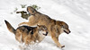 Wolf - Canis lupus (wimberlijn) Tags: wolf canislupus natuur beiersewoud bayerischerwald nationalparkzentrumfalkenstein bavarianforest nature wildlife animal outdoor coth5 ngc npc