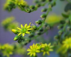 Macro on Monday: For St. Patrick's Day (Frank Fullard) Tags: frankfullard fullard flower plant botany botanical glasshouse green yellow dublin glasnevin irish ireland beauty