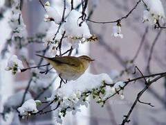 The first day of the spring (R_Ivanova) Tags: nature spring bird tree blossom flowers snow branch sony rivanova риванова природа пролет птици цветя цвят птица сняг