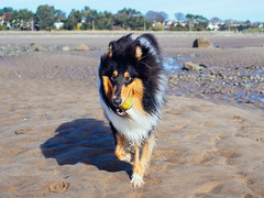 Leon at the Beach (kirstybroon) Tags: dog puppy rough collie roughcollie beach broughty ferry broughtyferry sand sun sea walkies fun play 11 months
