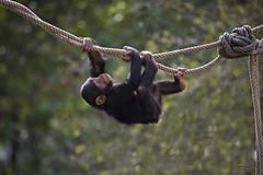(Carlos Santos - Alapraia) Tags: macaco monkey ngc ourplanet animalplanet canon nature natureza wonderfulworld highqualityanimals unlimitedphotos fantasticnature