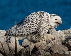 Workin' On a Pellet . . . (Dr. Farnsworth) Tags: bird owl snowyowl large female pellet cough regurgitate hork rocks water muskegon mi michigan winter march2018