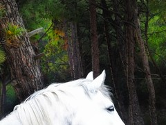 Half portrait (panoskaralis) Tags: horse animal nature green trees pine forest wood wooden portrait outdoor sunlight lesbos lesvos lesvosisland mytilene greece greek hellas hellenic greeknature