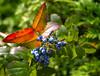 Butterfly on grape (kud4ipad) Tags: 2013 закарпатье zakarpattia leaf grape red green