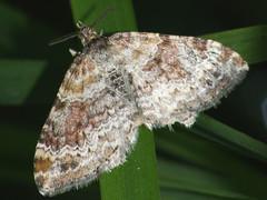 Xanthorhoe spadicearia - Red twin-spot carpet - Ларенция коричневая (Cossus) Tags: 2009 geometridae larentiinae xanthorhoe крылатское пяденица