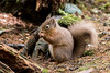 Red Squirrel (Clachan of Campsie) Tags: aberfoyle redsquirrel thelodge trossachs wildlife