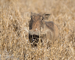 Warthog (mayekarulhas) Tags: southafrica wildlife wild warthog canon krugerpark krugernationalpark animal africa safari