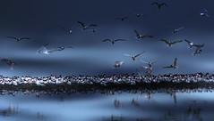 Tern Grope-- in explore (beachpeepsrus) Tags: birds flight water westcoast longbeachcalifornia longbeachgranprix light marsh color