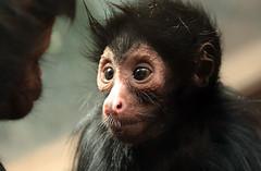 redfaced spidermonkey artis BB2A3944 (j.a.kok) Tags: artis animal aap spidermonkey slingeraap redfacedspidermonkey roodgezichtslingeraap zuidamerika southamerica mammal monkey zoogdier dier