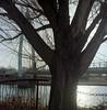 tree at guardian (bc50099) Tags: mamiya c330 portra kodakportravc160expired