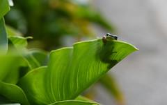 中國樹蟾 (直髮盧女士與捲毛壞脾氣小姐) Tags: 竹子湖 海芋 中國樹蟾 樹蛙 青蛙
