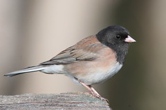A crumb with a bird attached :) (Paridae) Tags: junco juncohyemalis oregonjunco birdsofbritishcolumbia birdsofthefraserriver thingswithwings featheredfriends afewofmyfavouritethings canoneos1dx birdsofafeather