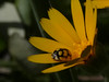 Oenopia lyncea. Calendula arvensis. (bego vega) Tags: oenopia lyncea coleoptera coleóptero escarabajo beetle insect insecto coccinellidae cochinélido animal flor flower calendula arvensis macro madrid vf campirri bego vega veguita bv begovega