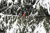 Surveying the backyard (karma (Karen)) Tags: baltimore maryland home backyard trees spruce birds cardinal snow branches htmt