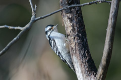 in the spotlight (captured views) Tags: capturedviews capturingthelivinglandscape woodpecker downywoodpecker nature