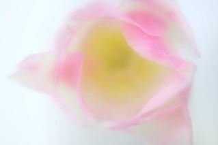 Tulip / チューリップ
