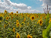 AFTER - Many sunflower turned Sun on the  farm field (Ciddi Biri) Tags: sunflower field crop foodindustry farm farming agriculture village farmlandscape landscape summer yellowflower bigflower sunnyday sunny cloudysky m43turkiye penepl3 1442iir kitlens