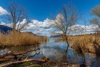 Roselière des Mottets  - Lac du Bourget (Savoie – Avril 2018)