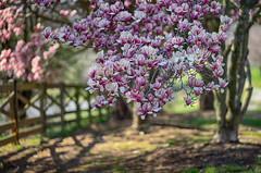 against the fence (kderricotte) Tags: sony sony85mm18 sel85f18 ilce7m2 a7ii sonya7ii bokeh depthoffield magnolia hff happyfencefriday tree bloom spring flower fence