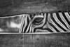 **schüchtern** (Digi Mona) Tags: zebra savanne streifen zoo tierfotografie tiere shy