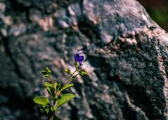 Flower (MJ6606) Tags: grass morning spring macro nature flower outdoor rock flowersplants wildlife florida