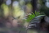 Waving to the bokeh (OzzRod) Tags: sony a7rii helios44m58mmf2 plant burrawong seedling frond bokeh intothesun swirl barraggabay