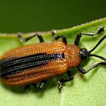 Locust Leaf Miner thumbnail