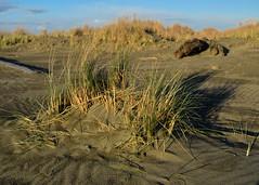 West Coast Evening Light (cutthroatsrule) Tags: beach dunegrass evening westcoast