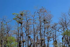 Standing Tall (ACEZandEIGHTZ) Tags: nikon d3200 bigcypress turnerriverroad scenic nature everglades tillandsias airplants