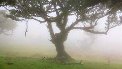 Earthshine (RicardoPestana2012) Tags: fanal til tree nature fog mist madeira madeiraisland