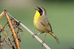 Marsh Songster (brad.schram) Tags: warbler yellowthroat commonyellowthroat geothlypistrichas op