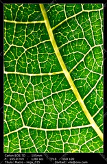 Leaf texture (__Viledevil__) Tags: leaf abstract back backlight background backlit botany bright close closeup color detail flora floral foliage fresh green life light macro natural nature nobody organic pattern plant spring structure texture textured vein veins vibrant vivid