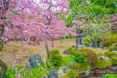 Pink Plum Blossom Season at Jōnan-gū Shrine in Kyoto. (KyotoDreamTrips) Tags: japan jōnangūshrine kyoto plumblossoms ume 城南宮 梅花 kyōtoshi kyōtofu jp