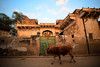 Cow passing in front of old havali in Mandawa, Rajasthan, India (CamelKW) Tags: 2018 india rajasthan cow passing oldhavali mandawa in