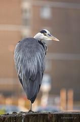 Heron in Amsterdam (Piotr_ewaipiotr_pl) Tags: ifttt 500px water bird fresh waterfowl shorebird green heron mute amsterdam netherlands