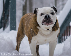 It's supposed to be SPRING! (Shaffer Shots Photography) Tags: oldeenglishbulldogge bulldog snow spring flakes white dog pet nature winter nose cold noreaster season seasonal