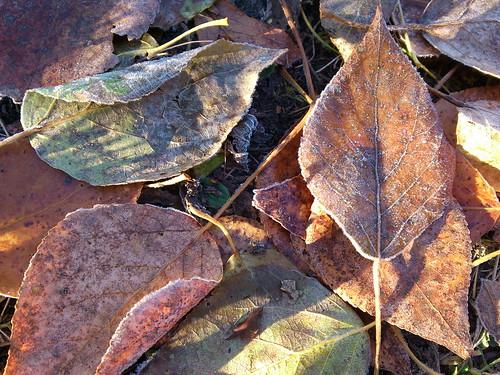 Листья в инее ©  ayampolsky