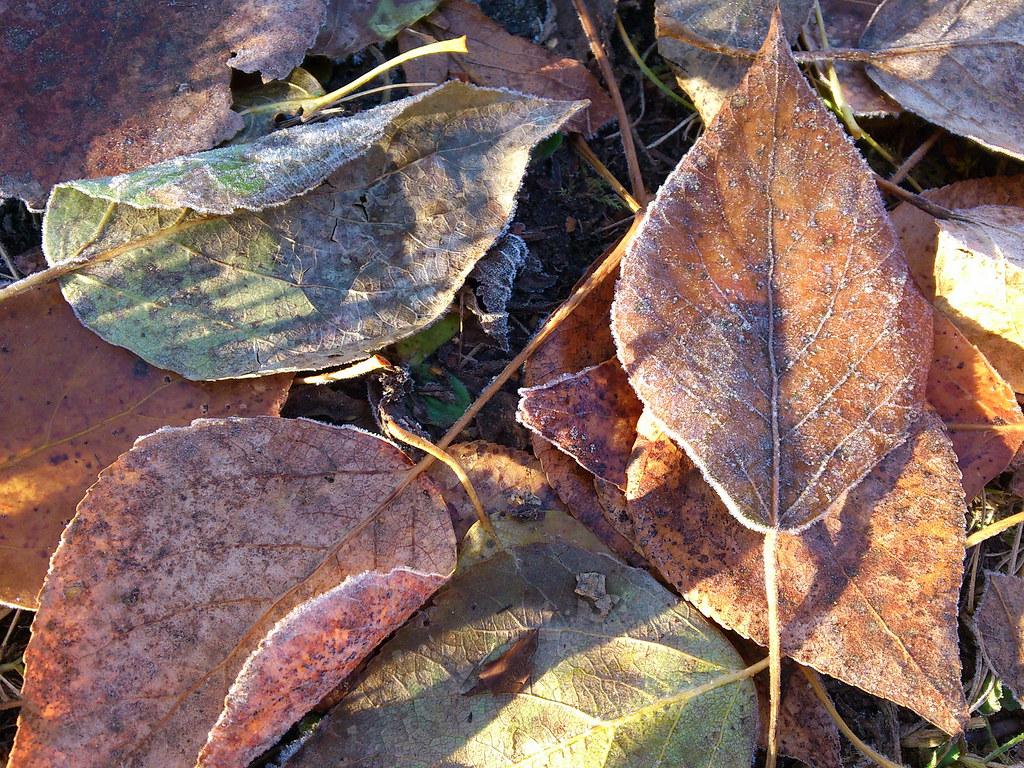 фото: Листья в инее